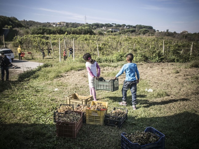 Children helping with the grapes, in Fondo Rustico Lamberti