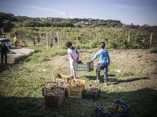 Children helping with the grapes, in Fondo Rustico Lamberti
