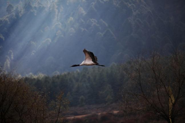 The black-necked crane. Source: www.projectbiwan.com.
