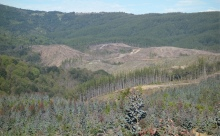 Tree plantations in Arauco, Southern Chile. Source: author