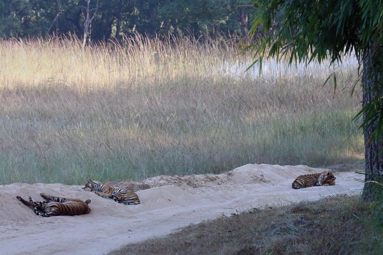 Ashish Tirkey - Rajbehra cubs - Bandhavgarh.jpg
