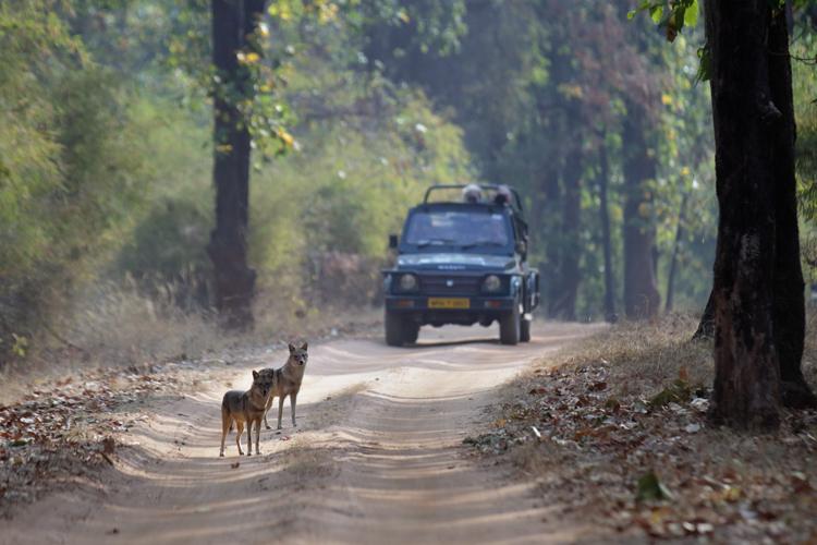 Jackal-Bandhavgarh-SI-05016.jpg