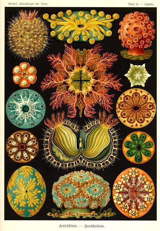 Ernst Haeckel's interpretation of several ascidians from Kunstformen der Natur, 1904